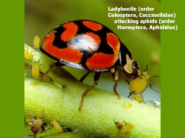 ladybeetle attacking aphids