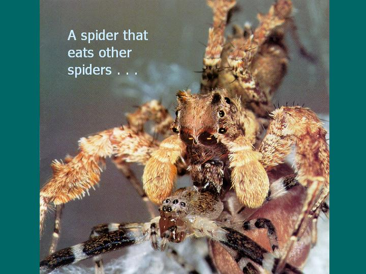 A spider that eats other spiders . . .