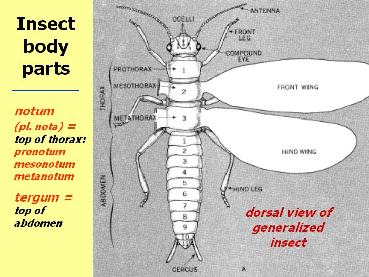 Morphology Of Insects