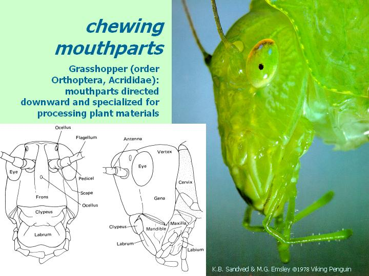 chewing mouthparts (grasshopper)