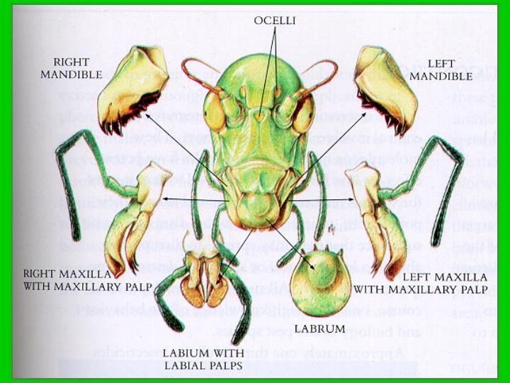 diagram of chewing (mandibular) mouthparts of grasshopper