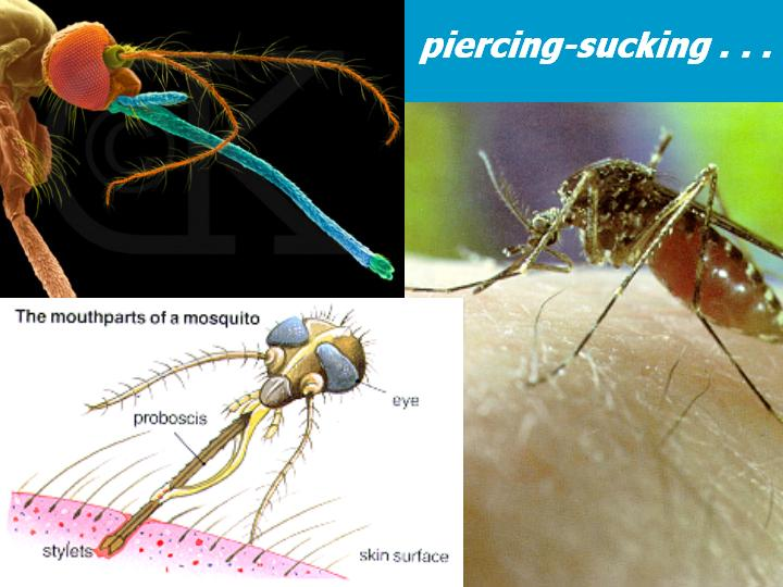 piercing-sucking mouthparts (mosquitoes)