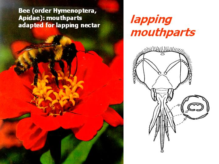 lapping mouthparts (honey bee)