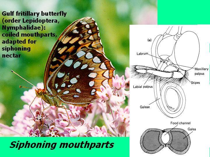 siphoning mouthparts (butterfly)