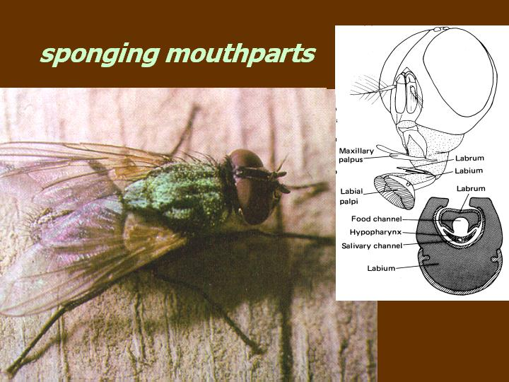 sponging mouthparts (house fly)