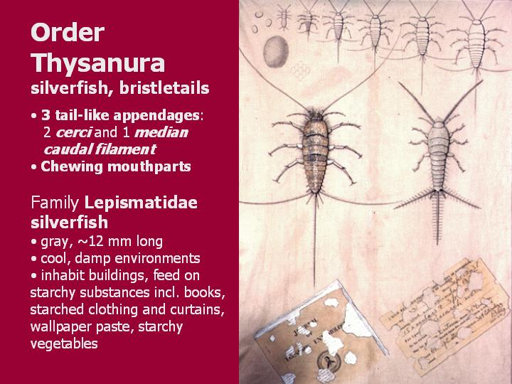 Thysanura: silverfish and bristletails