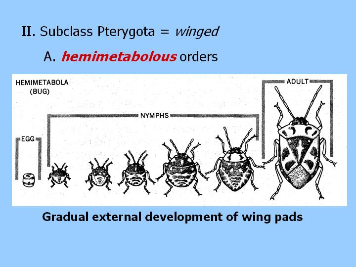 the hemimetabolous insects: winged