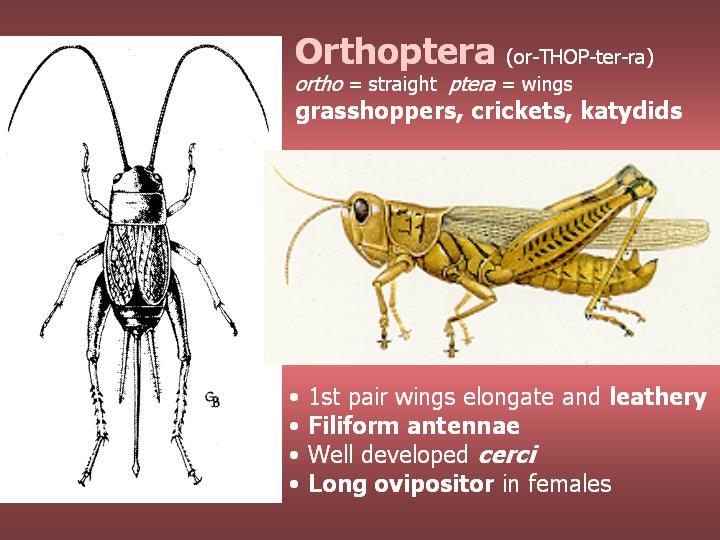 Orthoptera: grasshoppers, crickets, katydids