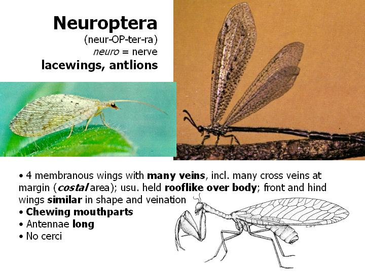 Neruoptera: lacewings, antlions