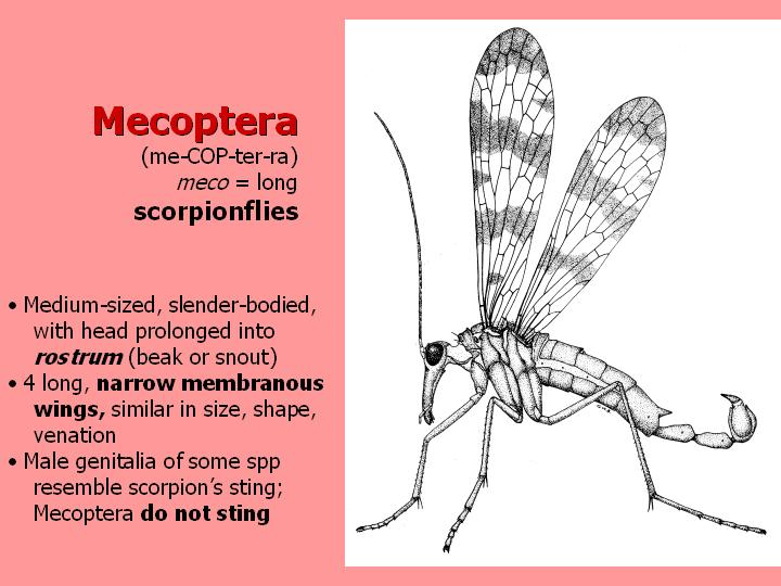Mecoptera: scorpionflies