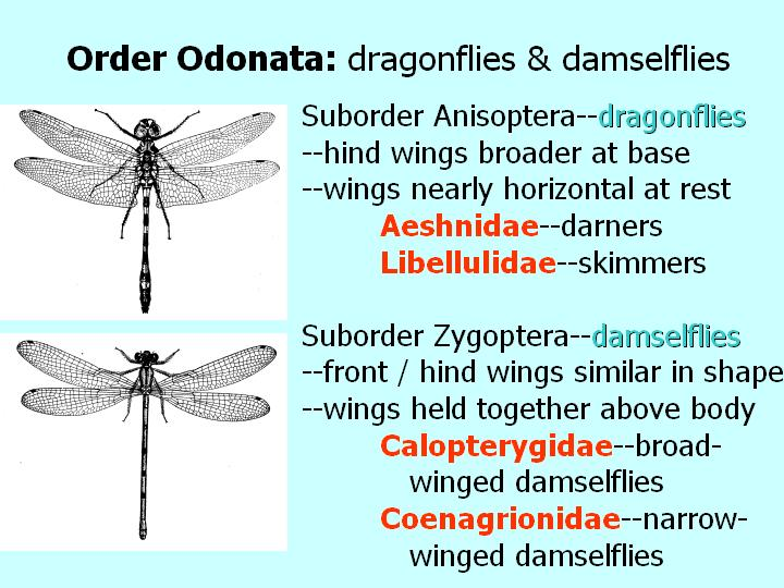 Odonata: dragonflies and damselflies