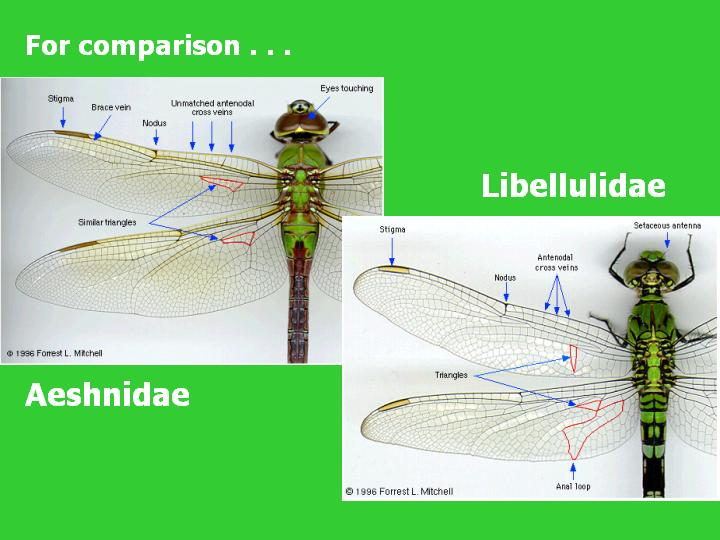 for comparison: Aeshnidae vs Libellulidae