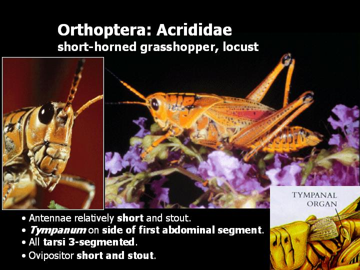 Orthoptera: Acrididae: short-horned grasshopper