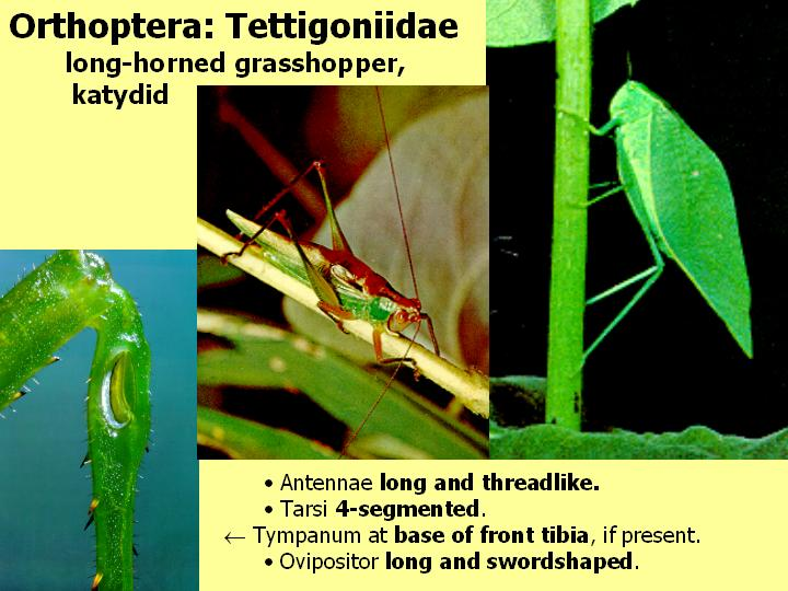 Tettigoniidae: long-horned grasshopper, katydid