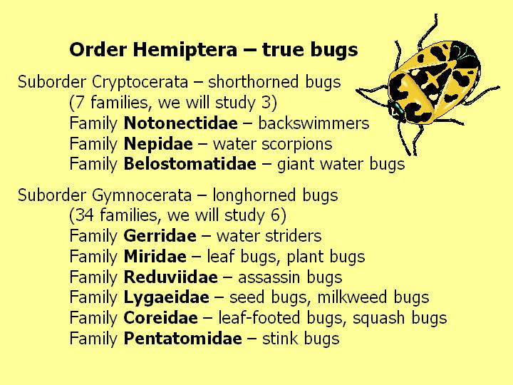 Order Hemiptera: overview