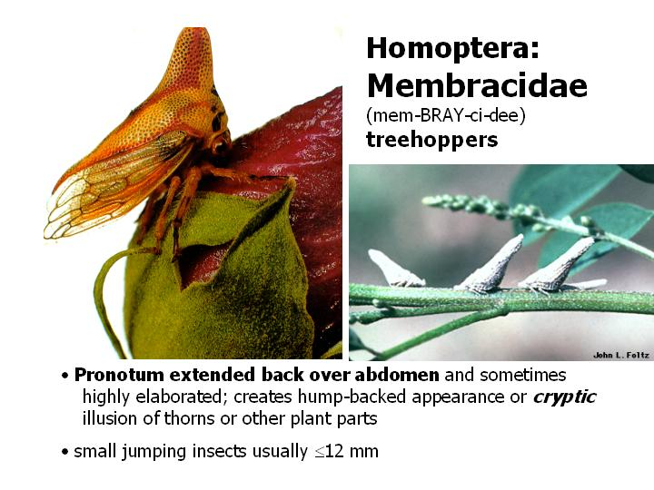 Membracidae: treehoppers