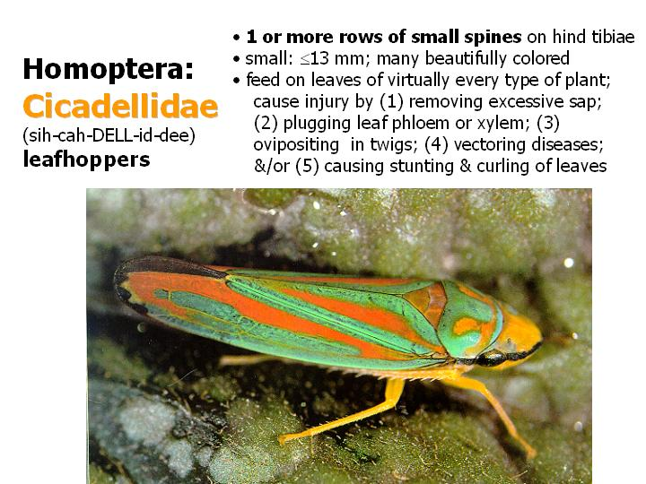 Cicadellidae: leafhoppers