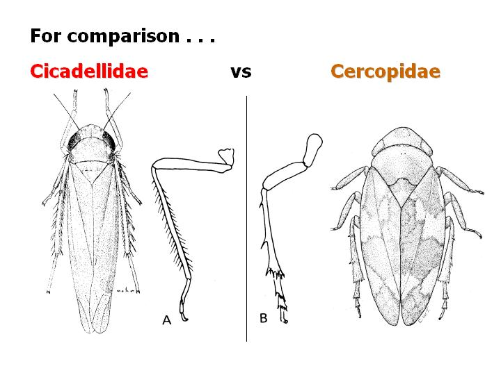comparison: Cicadellidae vs Cercopidae