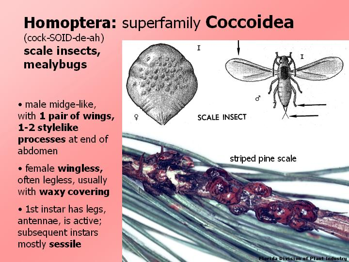 superfamily Coccoidea