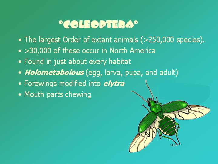 general features of Coleoptera