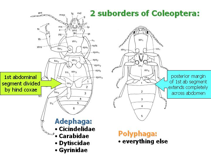 2 suborders of Coleoptera