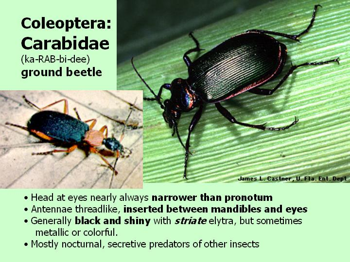 Carabidae: ground beetle