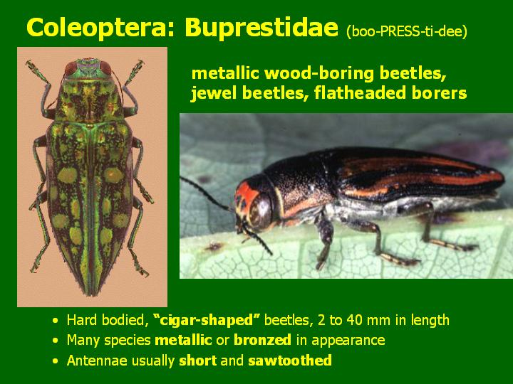 Buprestidae: metallic wood-boring beetles, jewel beetles