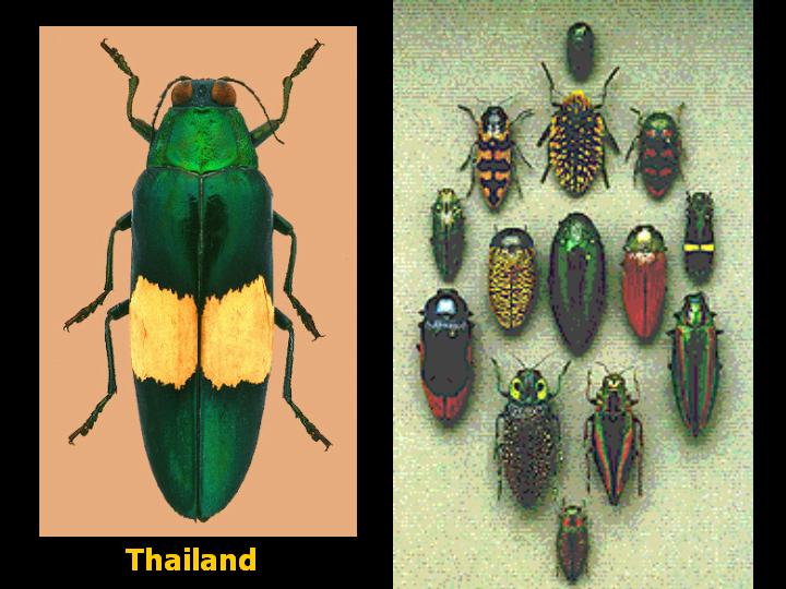 some Asian jewel beetles