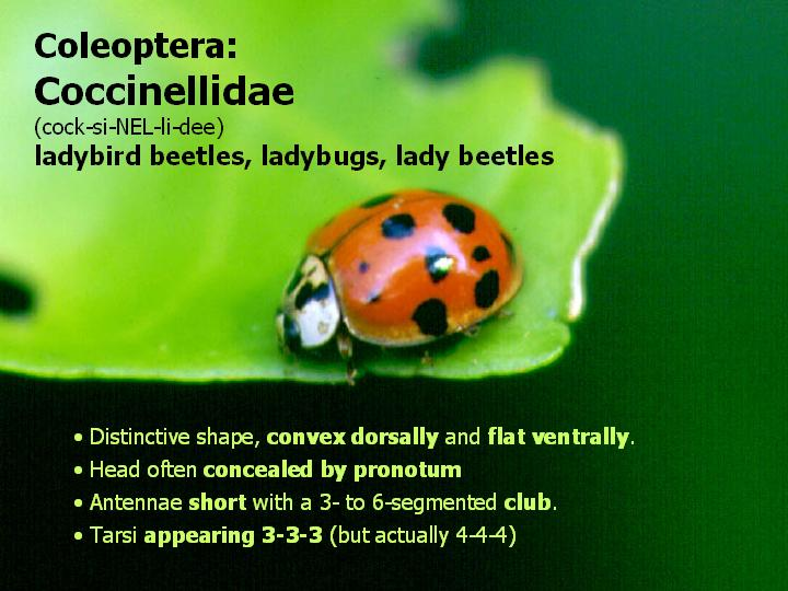 Coccinellidae: lady beetles