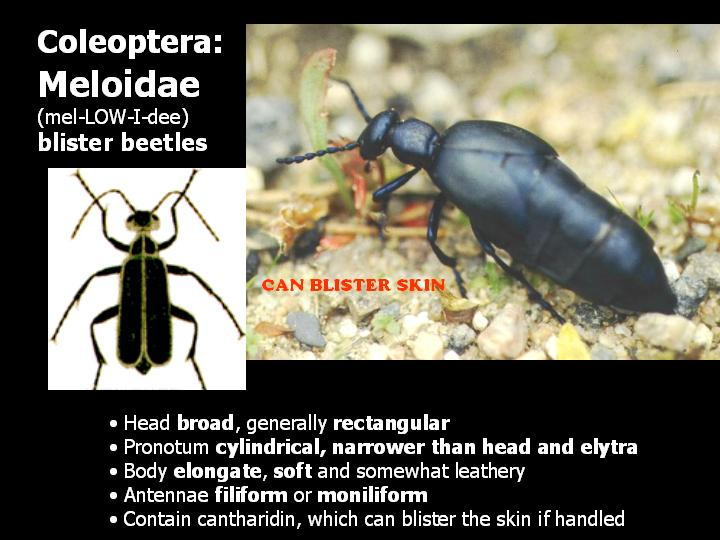 Meloidae: blister beetles