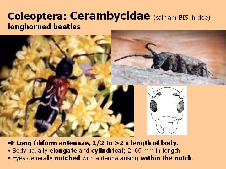 Cerambycidae: longhorned beetles