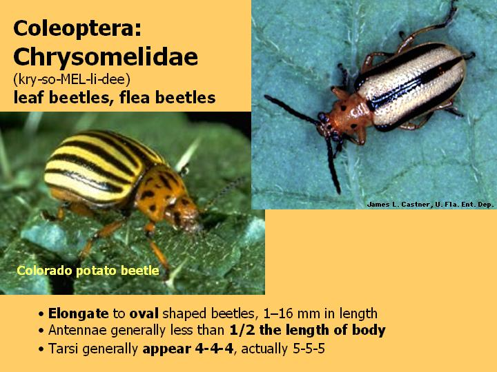Chrysomelidae: leaf beetles, flea beetles