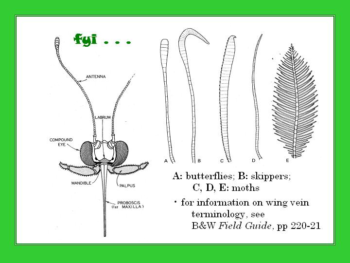 fyi ... antennae of butterflies, moths, skippers