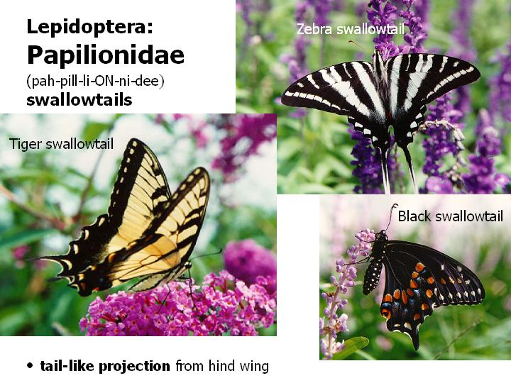 Papilionidae: swallowtails