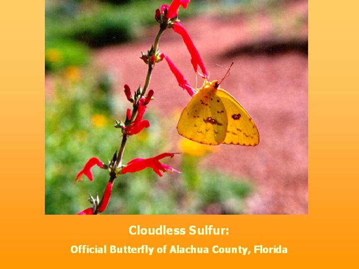 Cloudless Sulfur: Official Butterfly of Alachua County, Florida