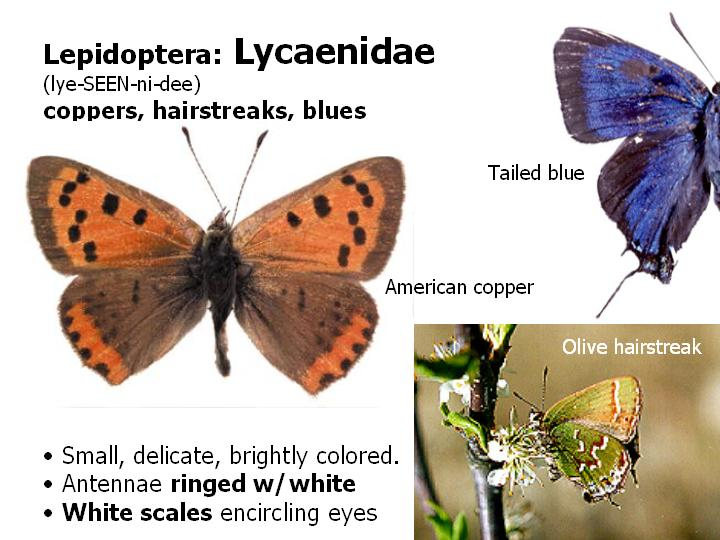 Lycaenidae: coppers, hairstreaks, blues