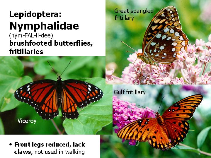 Nymphalidae: brushfooted butterflies, fritillaries