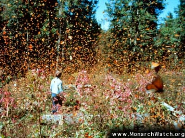 tens of thousands of migrating Monarchs