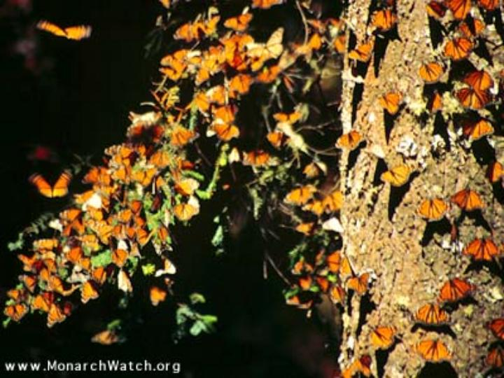 migrating Monarchs resting in trees