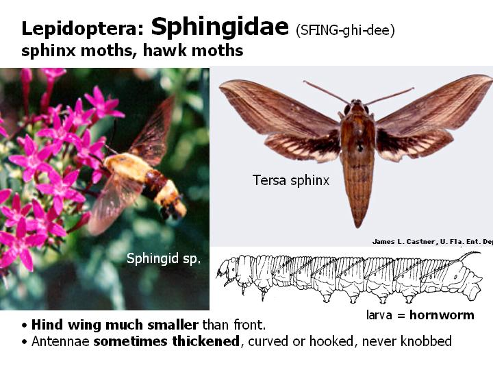Sphingidae: hawk moths, sphinx moths