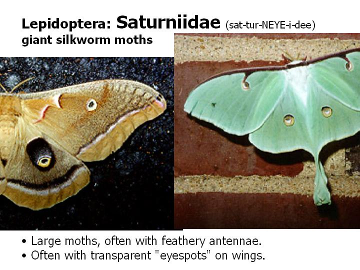 Saturniidae: giant silkworm moths