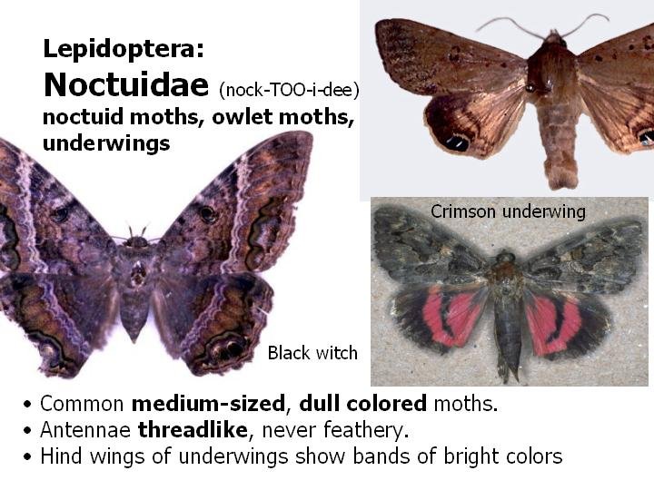 Noctuidae: noctuid moths, owlet moths, underwings