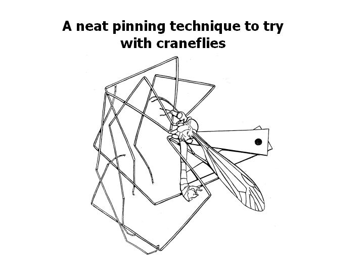 a pinning technique to try with crane flies