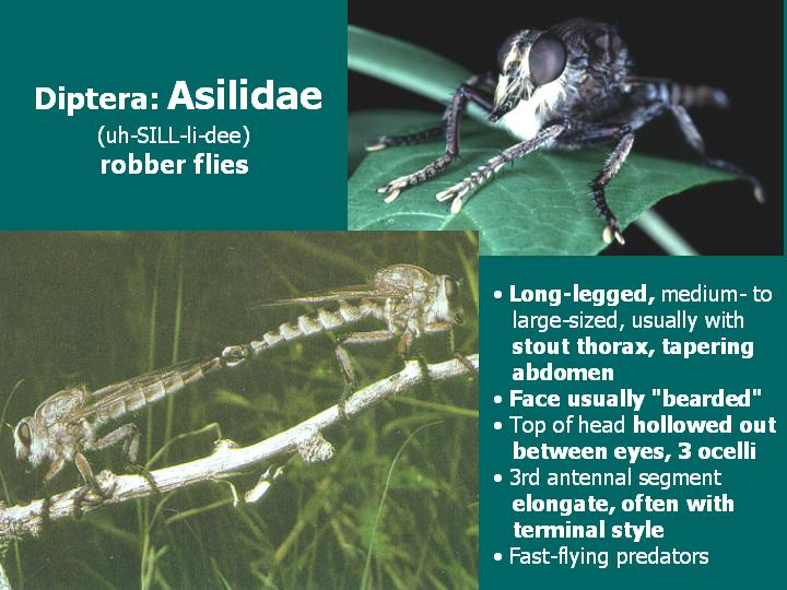 Asilidae: robber flies