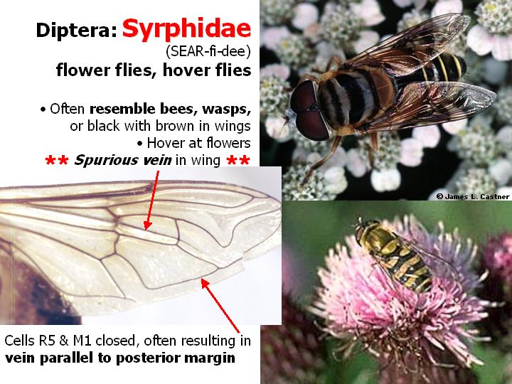 Syrphidae: flower flies