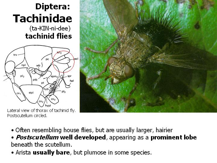 Tachinidae: tachinid flies