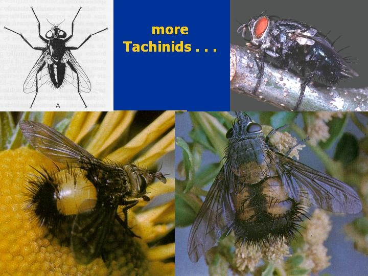 tachinid photos