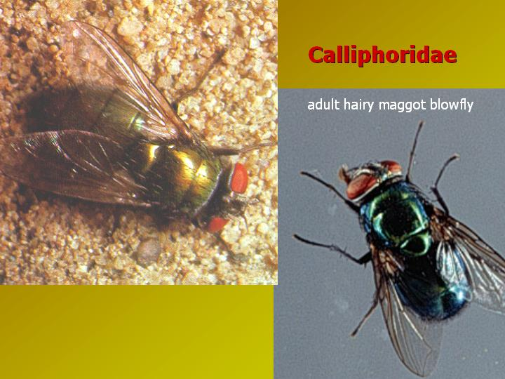 calliphorid photos