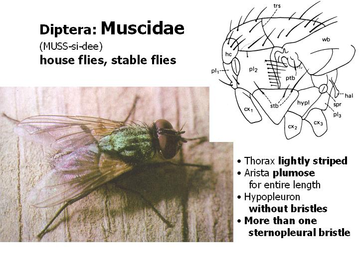 Muscidae: house flies, stable flies
