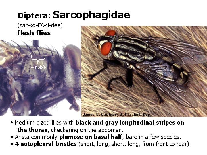 Sarcophagidae: flesh flies